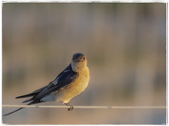 GOLONDRINA (BLAMANTI) Tags: golondrinas aves avesdeespaña volar hermoso hermosa canon canonpowershotsx60 blamanti