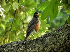 Follow Me!! (clarkcg photography) Tags: robin bird lookingback hop flight follow fauna faunasunday sundayfauna 7dwf
