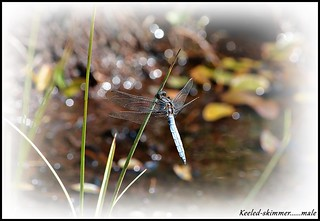 Keeled skimmer.........view large, left click and scroll.