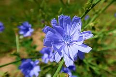 Cichorium intybus (ZdenHer) Tags: cichorium intybus flower blue green macro canonpowershotg7xmarkii