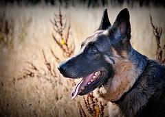 Sheperd's Pose (c.marney) Tags: german shepherd