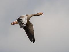 Sevenoaks flying Greylag