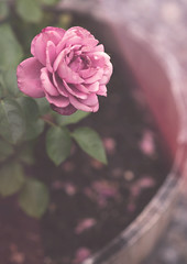 Whiskey Barrel Rose