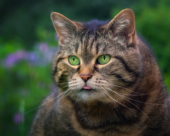 Cleo's Tuesday (FocusPocus Photography) Tags: cleo katze cat chat gato tier animal haustier pet zunge tongue htt tabby