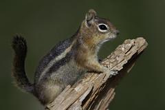 Golden-mantled Ground Squirrel (Sean Stubben) Tags: squirrel groundsquirrel bokeh nature wildlife animals utah mountains brianhead photography wildlifephotography naturephotography