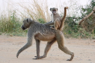 Baby baboon on mother's back