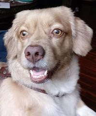 Roni (Santiago Stucchi Portocarrero) Tags: perro can cane dog hound hund chien santiagostucchiportocarrero roni
