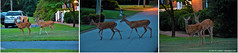 2018.07.21 Doe & Buck (Brunswick Forge) Tags: 2018 grouped deer wildlife nature animal animals animalportraits outdoor outdoors nikond500 summer night favorited