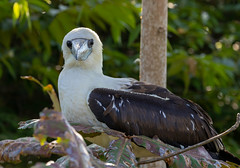Abbott's booby (dmunro100) Tags: abbottsbooby booby papasulaabbotti indianocean christmasisland endangered