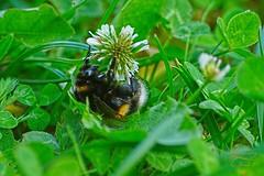 Bumblebee (Jurek.P) Tags: trzmiel bumblebee insects nature natura lato summer jurekp sonya77 flowers macro