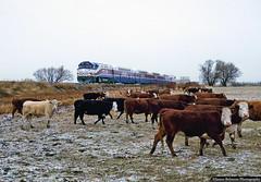 Mooooooving Right Along (jamesbelmont) Tags: altamontcommuterexpress lehi utah emd f40ph bombardier commuterrail drgw riogrande unionpacific cows rural pasture railroad railway train