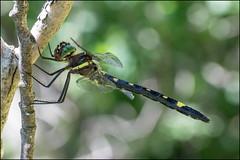 Female Swift River Cruiser (Dan Dewan) Tags: 2018 dandewan odonata nature tuesday constancebay colour canonmacroef100mmf28 ottawa dragonfly swiftrivercruiser summer july canada ontario green insect canon