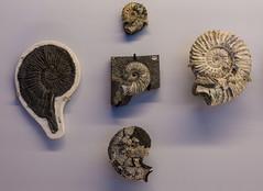 Ammonites (tommyajohansson) Tags: dorset england uk tommyajohansson geotagged fossil fossils kimmeridge jurassiccoast