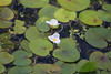 July Frogbit (ekaterina alexander) Tags: july frogbit hydrocharis morsus ranae water lily small white wild flower flowers three petals yellow centre england sussex ekaterina alexander nature photography pictures summer