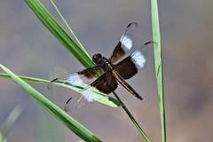 Widow Skimmer Dragonfly (juvenile male) (Steve InMichigan) Tags: widowskimmerdragonfly dragonfly insects