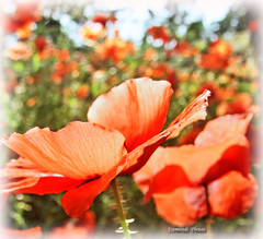 Poppies... (Szemeredi Photos/ clevernails) Tags: poppy flower natur color bokeh frame field garden summer spain segovia macro red green outdoor plant