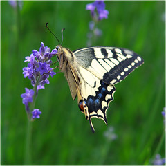 Paź królowej (RysiekLL) Tags: pentax k50 tamron 70200 motyl butterfly