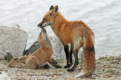 The Good Dad (marylee.agnew) Tags: red fox vulpes father family care kit love caring wildlife canine outdoor