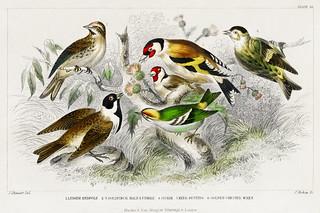 Lesser Redpole, Goldfinch Male & Female, Siskin, Reed Buntin
