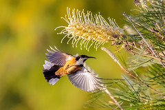 Eastern Spinebill hovering (jan_clewett) Tags: bokeh color fast flying brown early animal hover morning wildlife flight colour bird hovering black honeyeater small bif white brilliant eastern spinebill nature natural garden australia darling downs south east queensland toowoomba geham blur flower flowers country pretty wingspan red eye