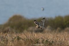 (jonathan_ed1984) Tags: skomer skomerisland owl shortearedowl shorties wildlife wildlifephotographer wildlifephotography britishwildlife british jonathanwintlephotography canon 500f4 5dmkiii 5d3 wales southwales