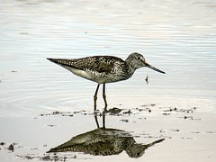 Greenshank (Hem6ix) Tags: animal canon cameraphone nature camera water sand bird birdfood birdfeeders birds birdsnest beach beak birdseed cliff cliffs eggs feathers feather seeds fuji feeder flight fly fish f