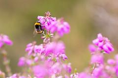 Heather Bumble (oandrews) Tags: bee bees bumblebee canon canon70d canonuk flora flower flowers heather insect insects invertebrate invertebrates minibeast minibeasts nationaltrust nature norfolk outdoors westruntonandbeestonregisheath wildlife westrunton england unitedkingdom gb