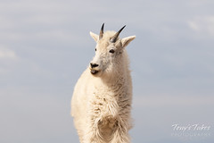 Young Mountain Goat smiles for its picture