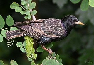 Hopeful Starling