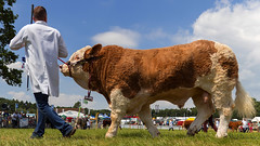 Taking the bull for a walk (explored) (Alan10eden) Tags: bull simmental animal show parade armaghcountyshow northernireland alanhopps ulster canon 80d sigma 1770mm beef agriculture farming farmer halter trained
