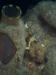 Juvenile Taurulus bubalis (Stefan Verheyen) Tags: fish netherlands macro