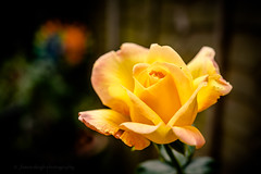 Sony a7 50mm 2.8 macro (Jasrmcf) Tags: ilce7 sel50m28 sony sony50mm sonylens sonya7 fullframe sonyimages 50mm28macro dof detail depthoffield smooth blur bokeh bokehgraph bokehlicious colourartaward colourful dreamy rose yellow vibrant garden ngc greatphotographers petals flower
