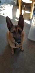 20180317_125101 (awinner) Tags: germanshepherd dalilahrose march2018 home largoflorida 2018 keezer march17th2018 dog project dalilah