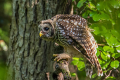 _S7A2336-Barred-owl (little river2006) Tags: barred owl