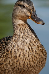 Mallard duck (ianspixs) Tags: mallard duck