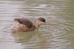 Hoary Headed Grebe (Rodger1943) Tags: grebes hoaryheadedgrebe waterbirds australianbirds fz1000