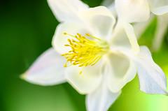 Out come the gold (Sean X. Liu) Tags: flower macro colorful nature closeup allengardens garden toronto ontario bokeh macromademoiselle