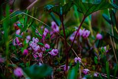 Forest Cosmos (evakongshavn) Tags: tinytreasuresinflora tinytreasures treasures flora flower floral flowerfield pink purple 7dwf