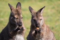 Red-necked wallaby (Cloudtail the Snow Leopard) Tags: känguru tier animal mammal säugetier beuteltier bennet rotnacken wallaby macropus rufogriseus red necked marsupial eat eating zoo stadtgarten karlsruhe
