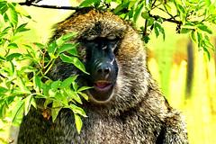 mein Montagsgesicht ;-)) (baerchen57) Tags: tiere animals affe tierpark licht sonne
