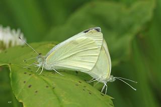 Couple de Piérides du chou / Cabbage White Butterflies