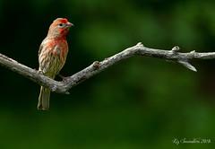 House Finch (Blazingstar) Tags: studio 26 birds house finch