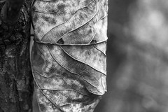 The more you look. (Anxious Silence) Tags: norburypark surrey uk autumn walking outdoors blackandwhite nature cow leaf architecture tree