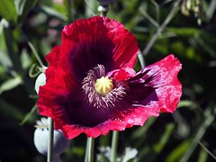 Cultivated Poppy (saxonfenken) Tags: tcf red purple 6638 6638flowers poppy gamewinner