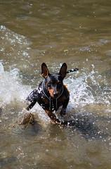 30/6/2018 (Doberman.lady) Tags: dog pet pinscher minpin miniaturepinscher ball aport trickdog tschechia chuliganviabohemica viabohemica