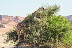DSC_8759-2 (paul mariano) Tags: paulmarianocom paul mariano allrightsreserved namibia wildlife photography animals africa