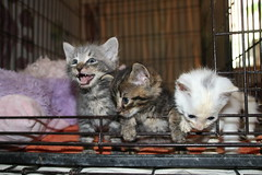 20/365/3672 (July 1, 2018) - It's Kitten Season! Cats and Kittens at Crafty Cat Rescue (Ann Arbor, Michigan) - Sunday July 1st, 2018 (cseeman) Tags: cats pets craftycatrescue annarbor michigan shelter adoption catshelter catrescue caring animals kittens craftycatkittens2018 craftycatphotos07012018 2018project365coreys yearelevenproject365coreys project365 p365cs072018 356project2018