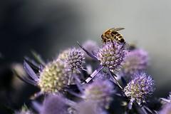 Biene auf Blüte (mux68-uh) Tags: biene blüte pollen sammeln