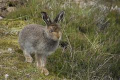 In The Heather (steve_whitmarsh) Tags: aberdeenshire scotland scottishhighlands highlands animal nature wildlife hare mountainhare topic abigfave