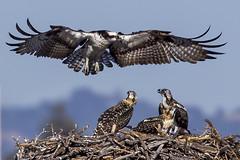 190/365  Osprey